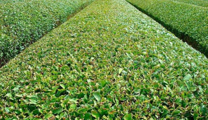 الحكومة العراقية تمتلك مزرعة للشاي في فيتنام ولا احد يعرف كيف تدار واين تذهب وارداتها