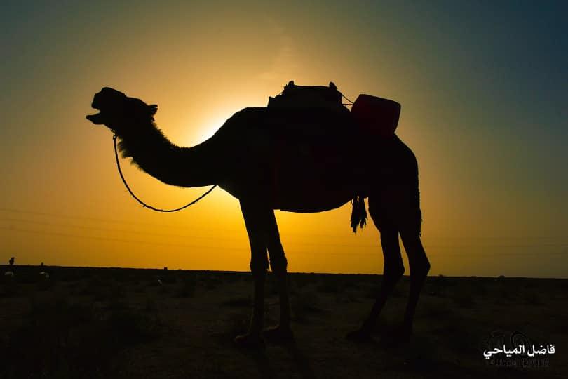 بالصور: حياة البادية والأبل في صحراء كربلاء الغربية.